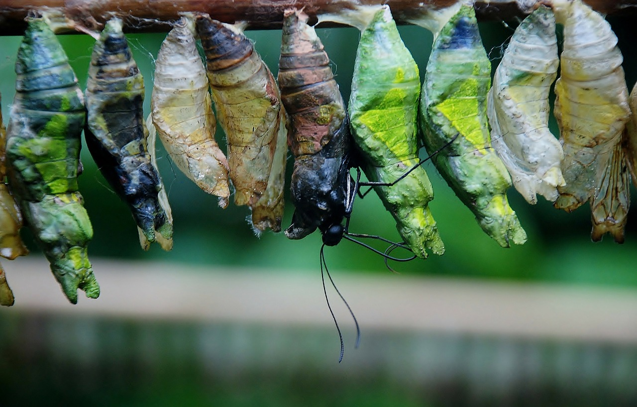 Kaizen Method - butterfly emerging from a cocoon