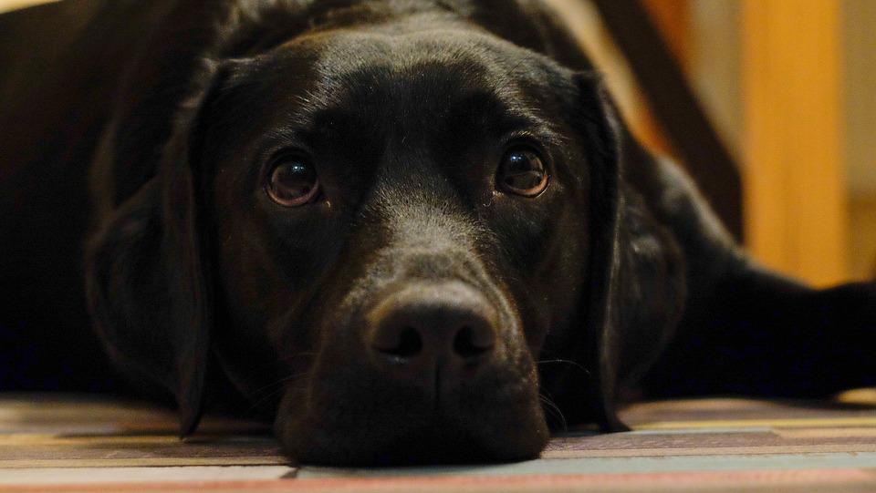 Black labrador Dog in the Office